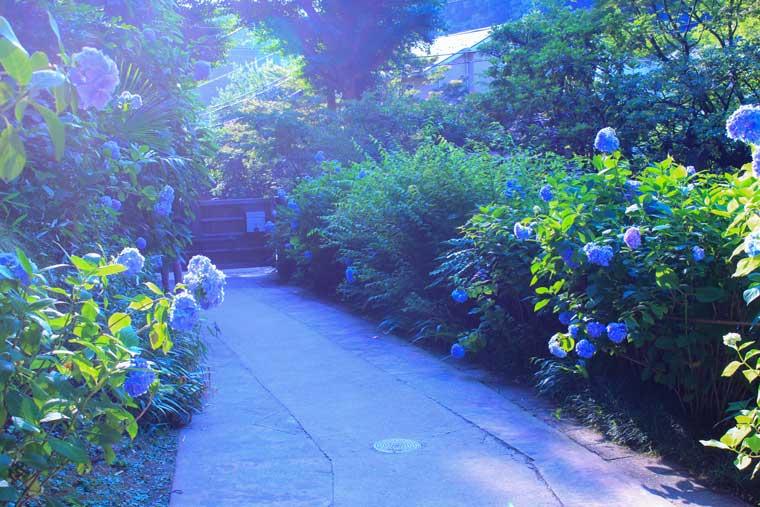 鎌倉・明月院のあじさい